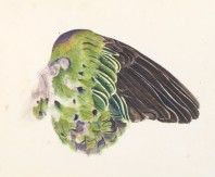 Purple Crowned Pigeon - Watercolour on Arches paper - Torres Strait, Far North Queensland 1989/90